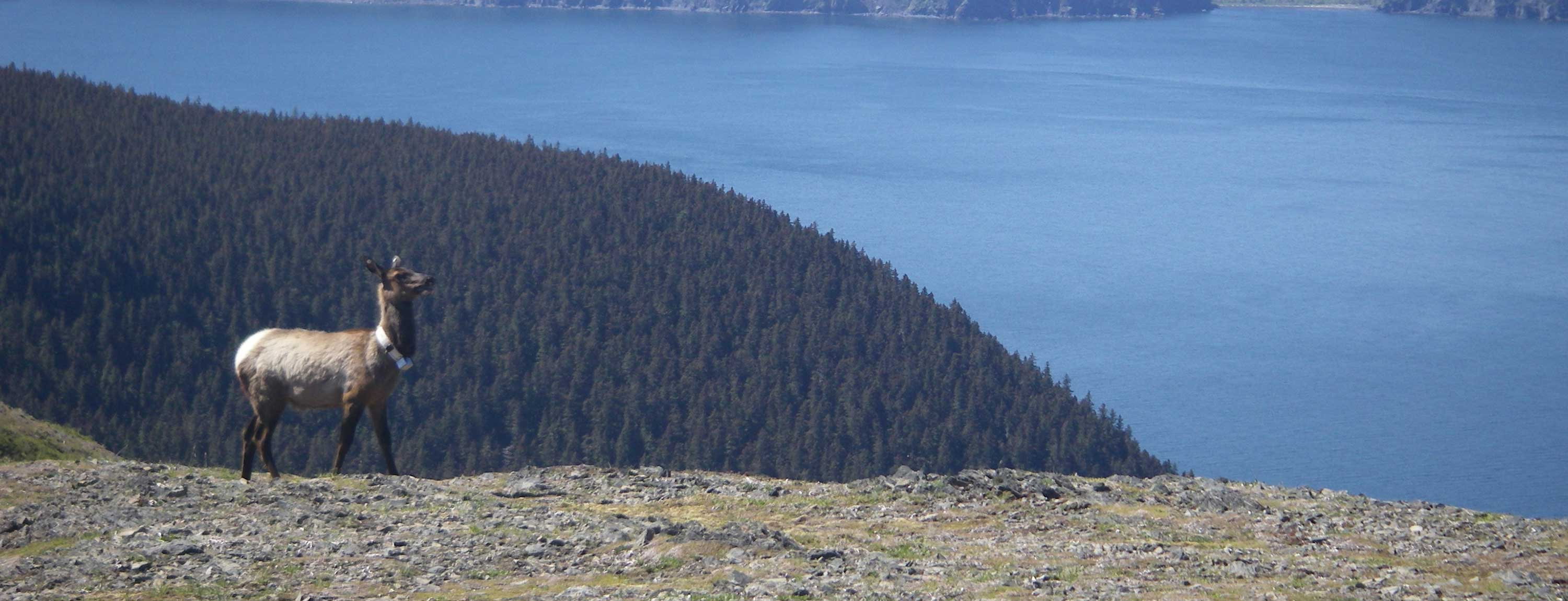 Elk Resource Selection in Response to Timber Harvest: Afognak Island, Alaska