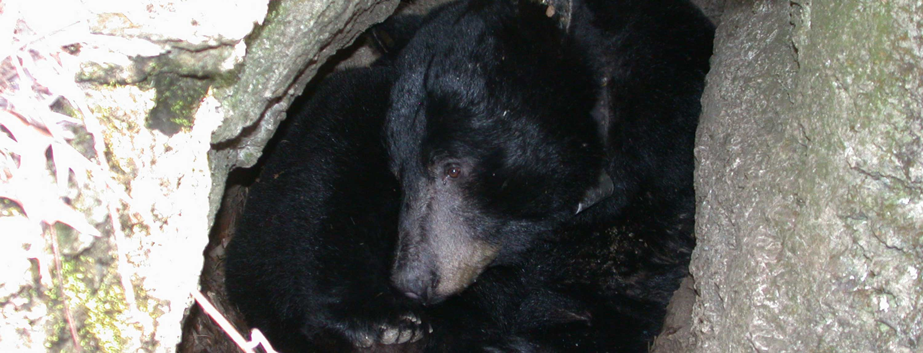 Population and Spatial Ecology of Eecolonizing Black Bears in Missouri.