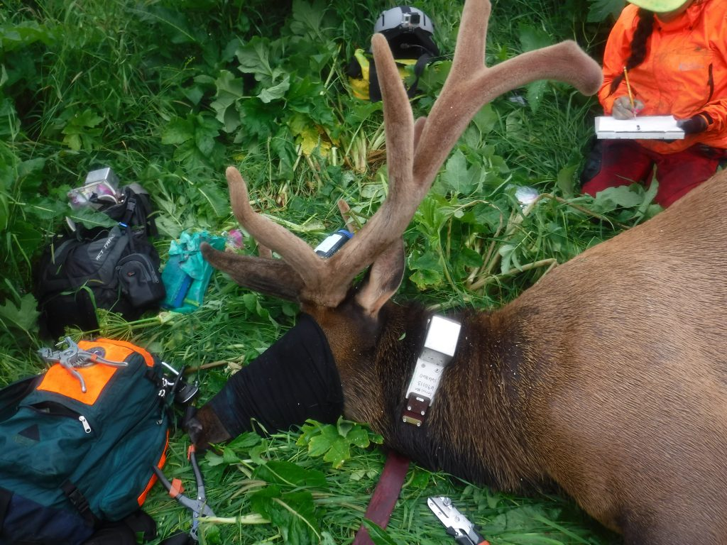 GPS Radio collars on Afognak Elk