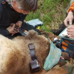 Immobilized female brown bear captured on Sitkalidak Island, Alaska.