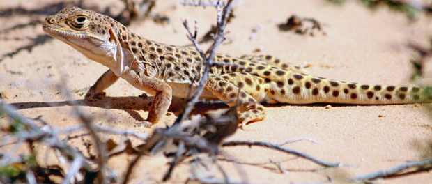 A long-nosed leopard lizard (Gambelia wislizenii) appears in Arches National Monument. ©gilaman