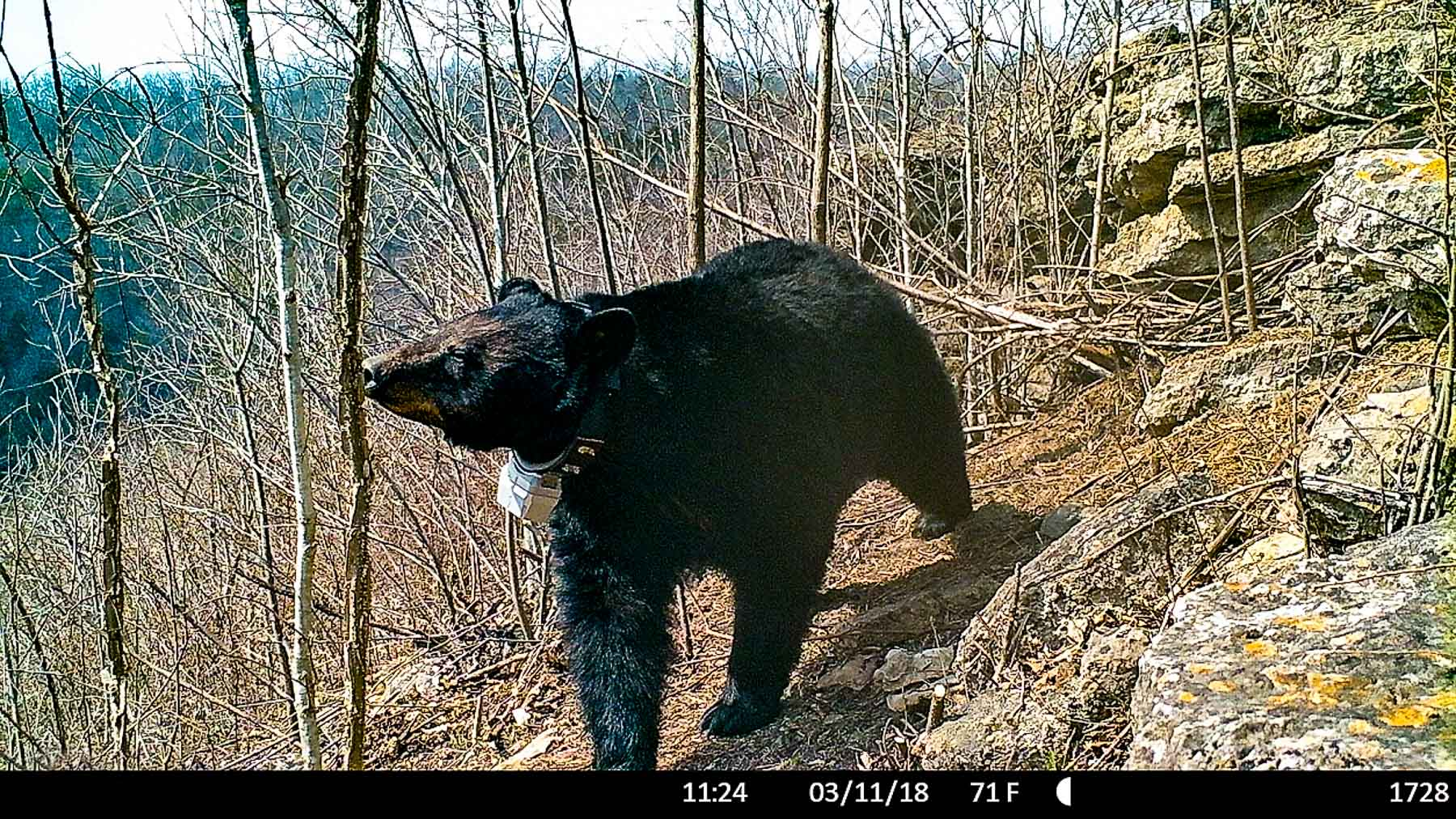 Trail camera image of GPS collared black bear smelling tree.