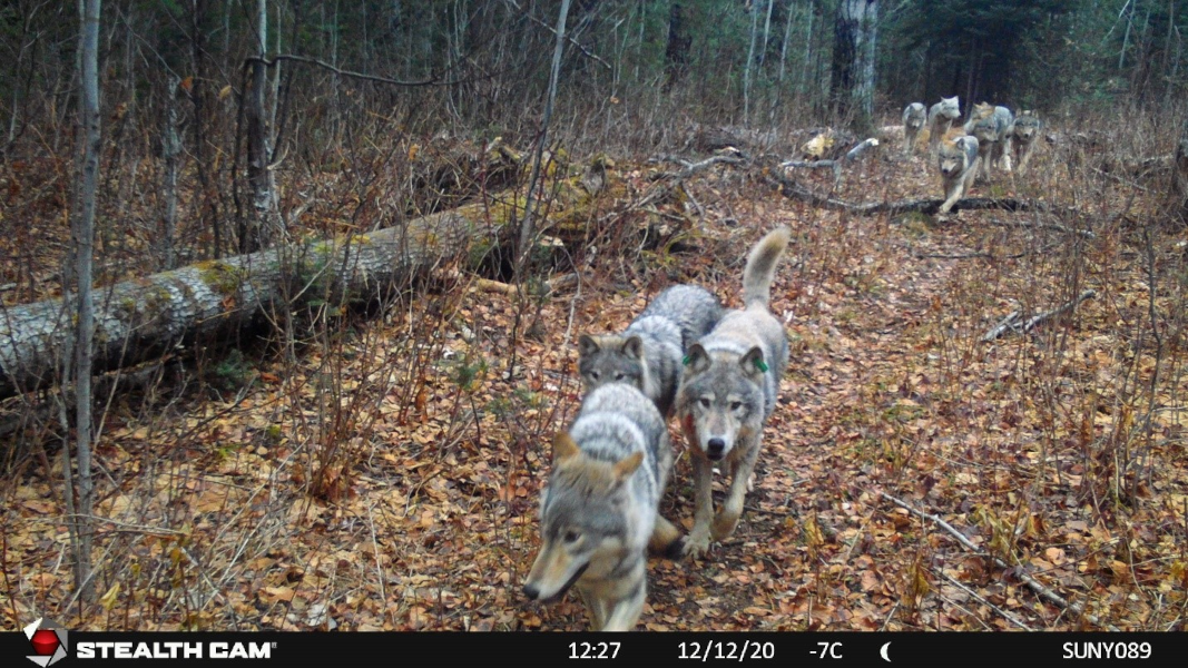 Pack of 9 wolves on Isle Royale National Park, Michigan.